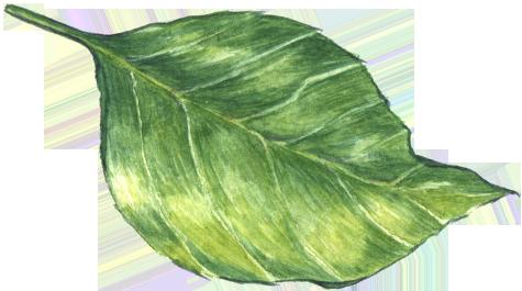 Blatt eines Apfels